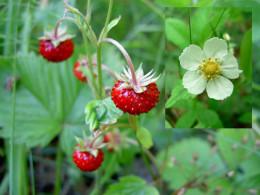 Wild Strawberry Flowers.