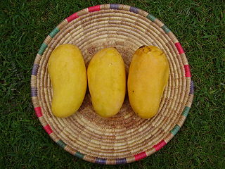 Sindhri, famous mango variety from Pakistan and Among the Best Tasted Mangoes of the World