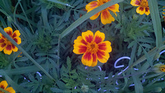 Marigolds: Perfect companions for tomatoes and peppers