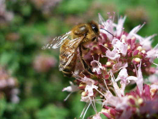 Bee on Oregano Flower