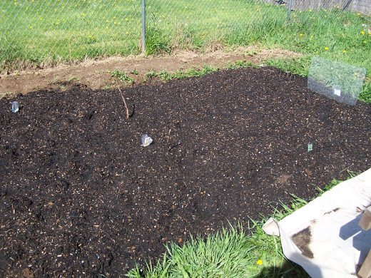 A potato bed planted using this method; wood scraps are underneath the soil