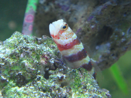 """One of my oldest fish; """"Willow"""" my Wheeler's Watchman Gobie...he had such personality"""