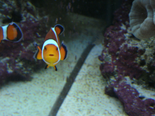 "My ""Nemo"" was a female; she was very aggressive and bit me all the time but she was gorgeous and I loved her!"