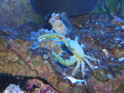 An Emerald Crab with a Lawn Mower Blenny in the background!