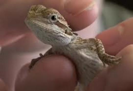 Just look at that face!  How can you resist?  My little Journey looked very much like this little lizard when I got her.