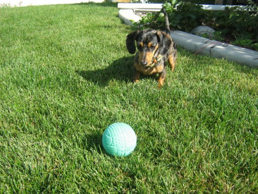 My retriever Dachshund with one of her many balls