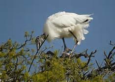 Wood Stork Nest
