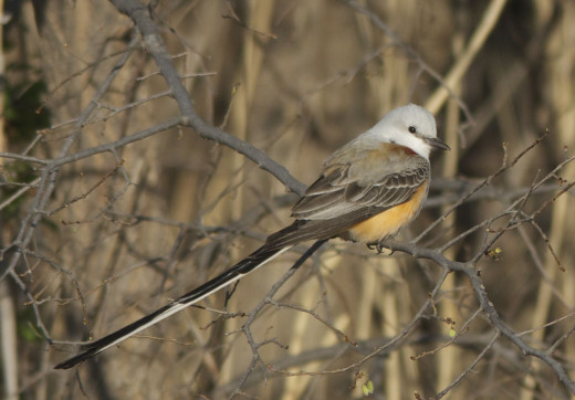 Male Scissor-tailed Flycatcher