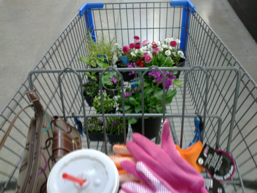 Garden gloves and bedding plants.
