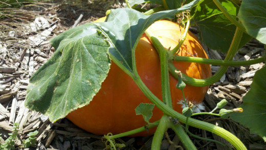 Pumpkin Rouge Vif De'Temps aka Cinderella