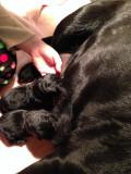 English Labrador Retrievers: Birth to Two Weeks Old