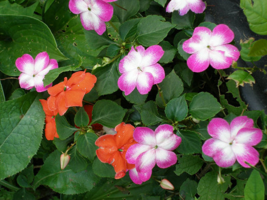 Impatiens mixed into a container