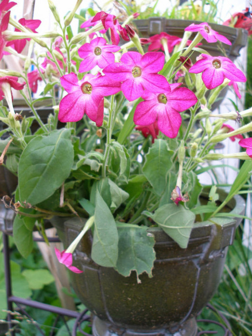 Nicotiana in hot pink