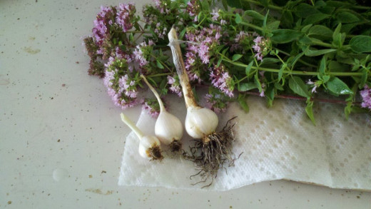 Oregano seen here with my garlic harvest