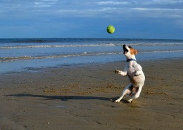 Jack Russell Terrier catching a ball