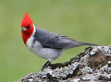 Red Cap Cardinal at Kokee State Park