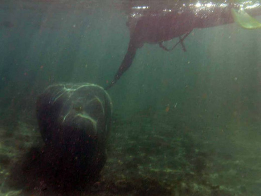 My first attempt at wildlife photography was diving with manatees in the Crystal River in Citrus county Florida, USA.