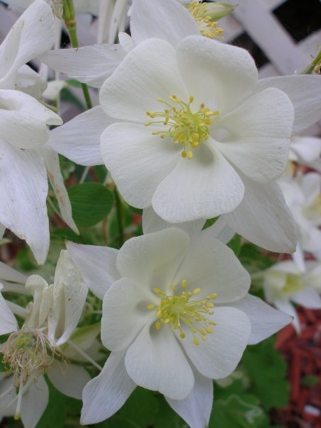 Giant Columbine in white