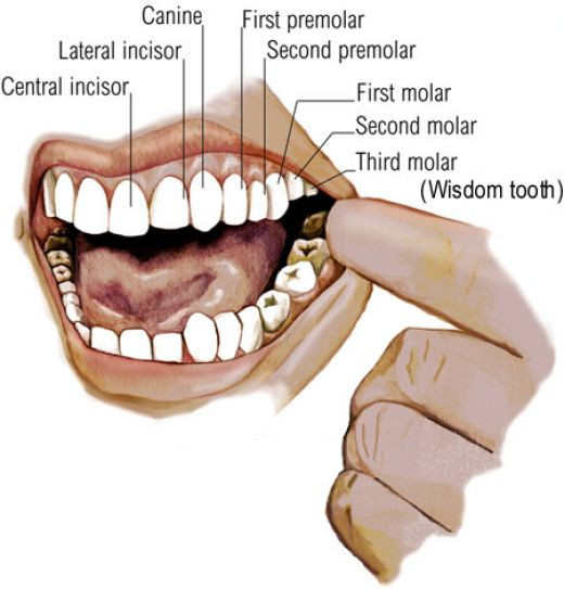 Diagram of inisde the mouth and third Molars