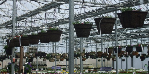 Just a small portion of the hanging baskets on display - it seems like a continent!