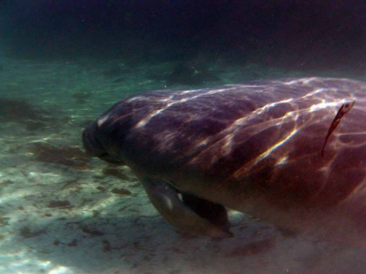 A manatee heads for the shadows, which is their way of excusing themselves but they are so big that you can still see them.