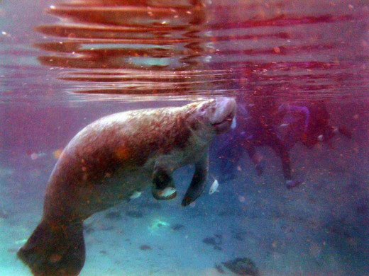 Manatees eventually have to come up for air after about twenty to thirty minutes.  Manatees like warm water, and they are predictable in their behavior.  Predators still don't hunt them because of their size.