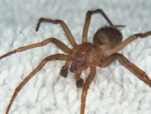 The Brazilian wandering spider is believed to have killed more people than any other spider