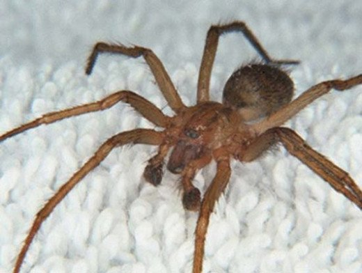 The Brazilian wandering spider
