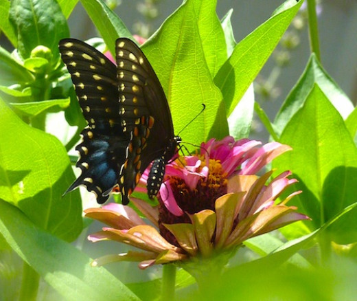 Zinnias attract Black Swallowtail Butterflies. Plants in the carrot family are needed in your garden for them to lay eggs.