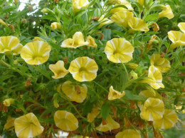 Superbells® Lemon Slice Calibrachoa hybrid. Given regular water and occasional fertilizer, Lemon slice is a nonstop bloomer throughout the summer.