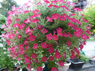 Supertunia® Charms are smaller than Proven Winners® traditional Supertunia® and are a little larger than a Superbells® Calibrachoa.