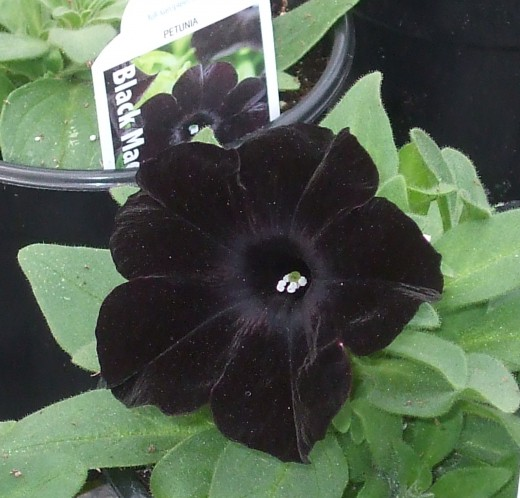 Another view of PW petunia Black Magic.