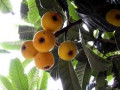 Loquat or Biwa- The Medicinal Tree Loved by The Buddha