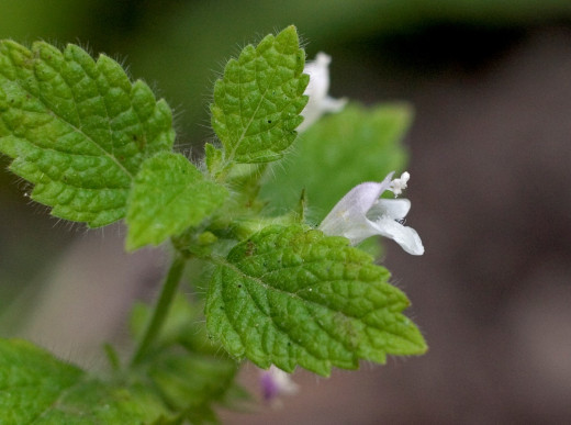 Lemon Balm White Flowers