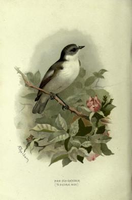 Familiar Wild Birds --Swaysland 1883 {BHL}