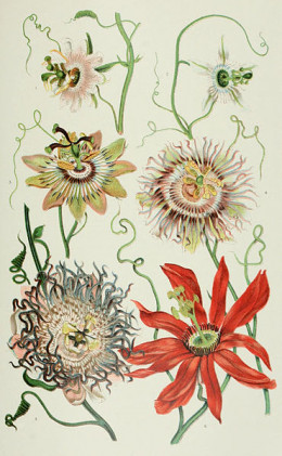 Passion Flower Botanical Drawing