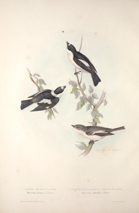 'Birds of Europe'  1837 John Gould