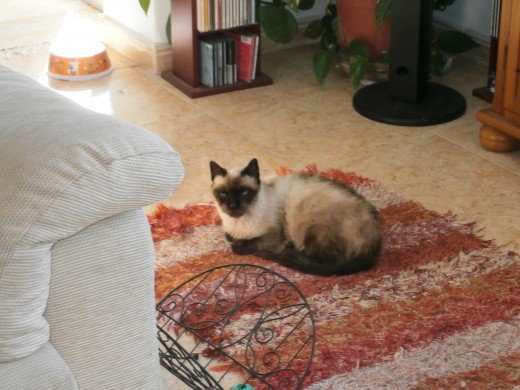 My Siamese cat Luna prefers the rug in front of the TV to sofas, baskets and even beds.