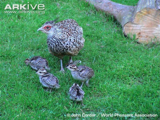 Pheasant hen with her chicks
