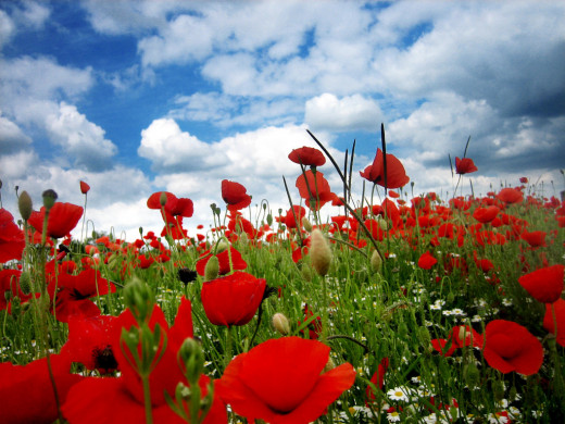 Field of poppies (Just to remind us of those who won't see the new life)