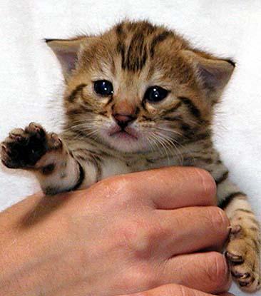 FIV - a healthy kitten