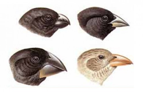 The changes in Finch beaks, which Darwin thought were evidence for his theory, are an example of genetic variation, not evidence for macroevolution.
