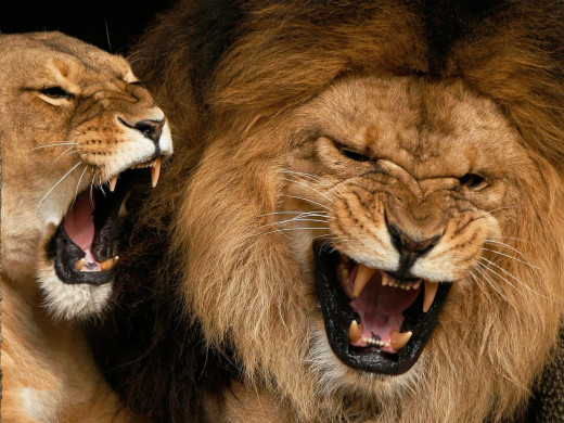 Healthy Lions - free of FIV