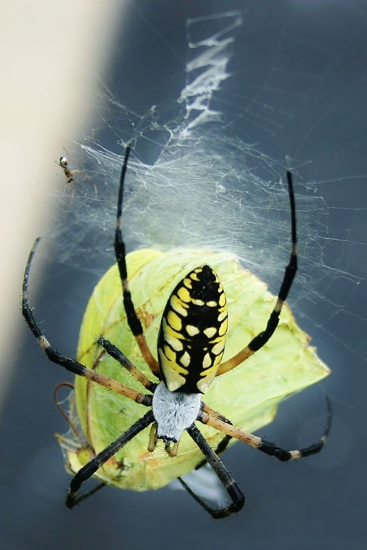 Yellow garden spiders eat relatively large prey, including  butterflies & moths.