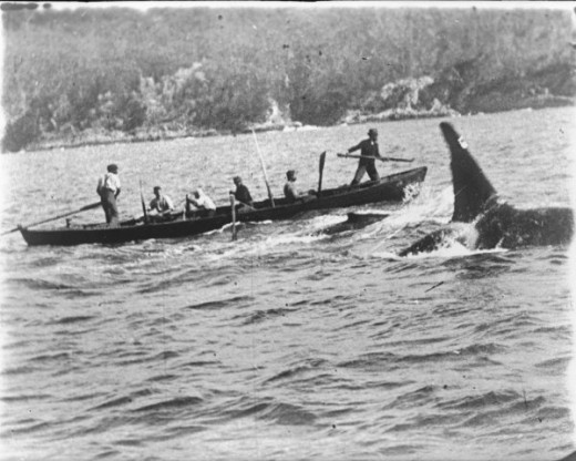 Whalers from Eden, New South Wales, Australia in pursuit of an Orca (or Killer Whale) named Old Tom. A whale calf also swims between the whalers and the Orca.  Photo was first publicly shown in 1912.