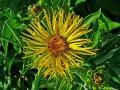 Elecampane { Past and present medicinal uses}