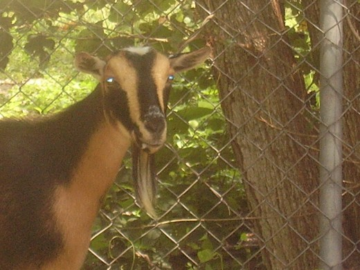 One of our Nigerian Dwarf does, a rare breed of dairy goat about the size of a small golden retriever.