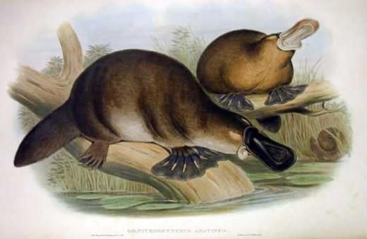 John Gould print image of Ornithorhynchus anatinus (platypus)