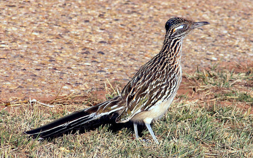 A Photo Of A  California Roadrunner