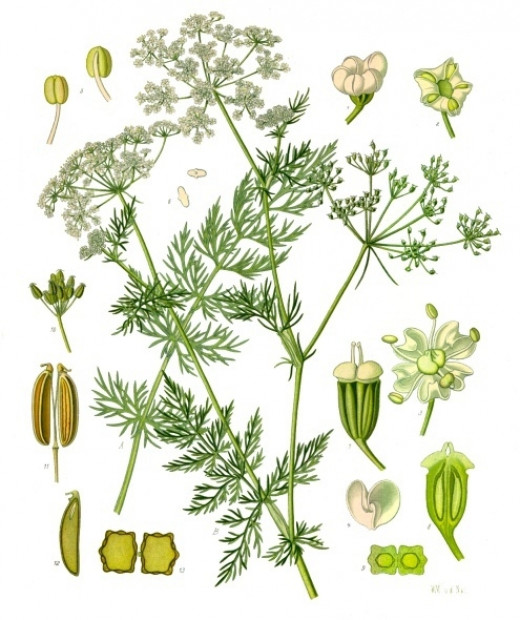 Caraway plant